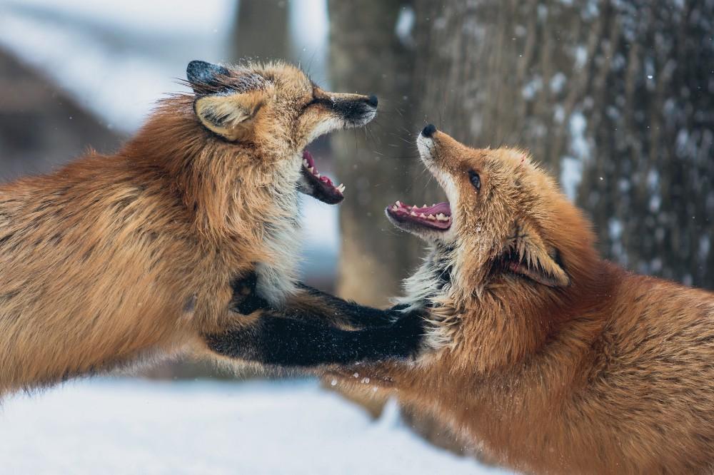 foxfight.jpeg